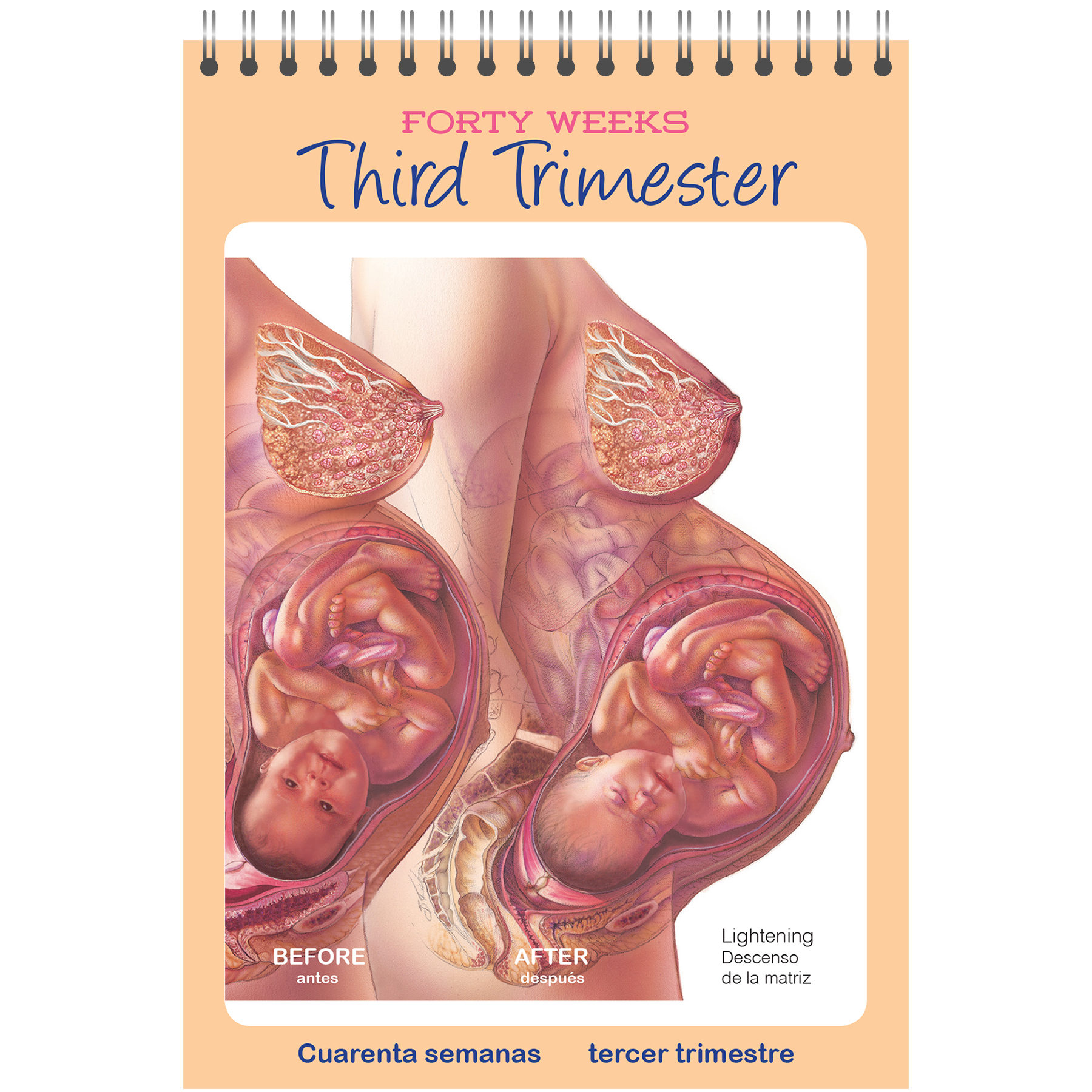 pocket-sized guide to pregnancy third trimester image, details changes  in woman's body during
