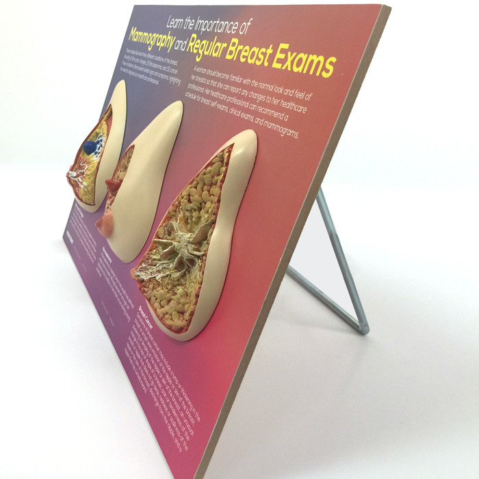 Learn the Importance of Mammography 3D painted model printed information angled view easel, Health Edco, 51200