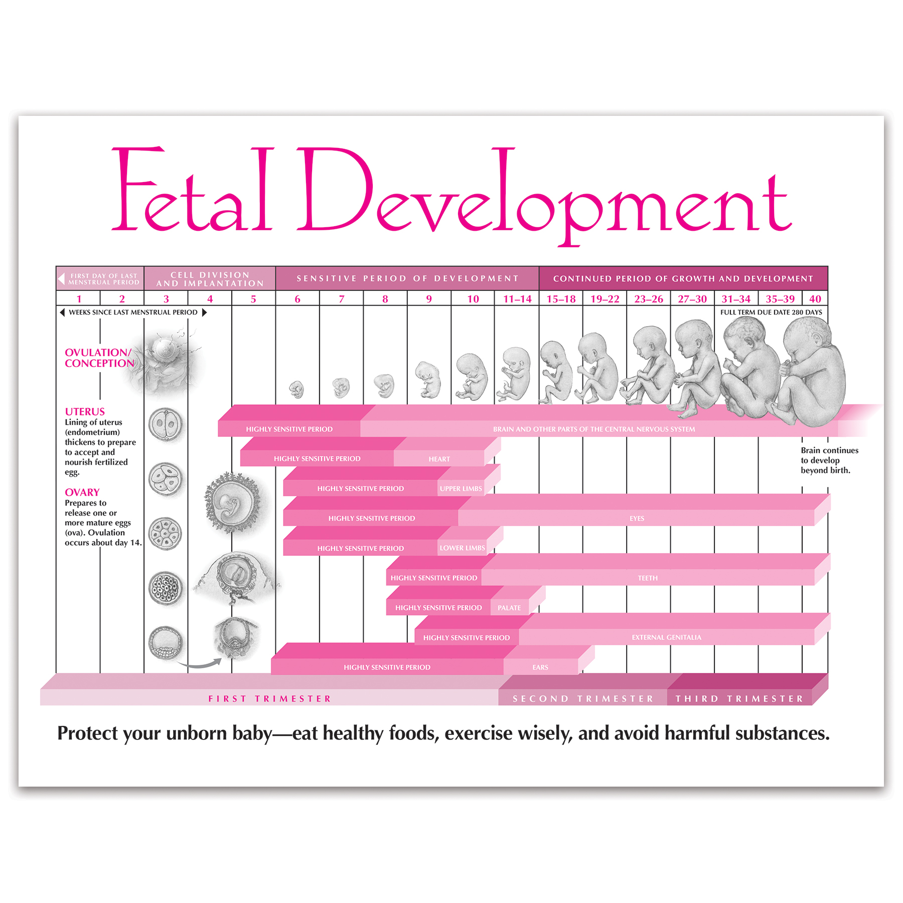 Fetal Development 2-color illustrated tear pad front, developmental timeline, Childbirth Graphics, 52554