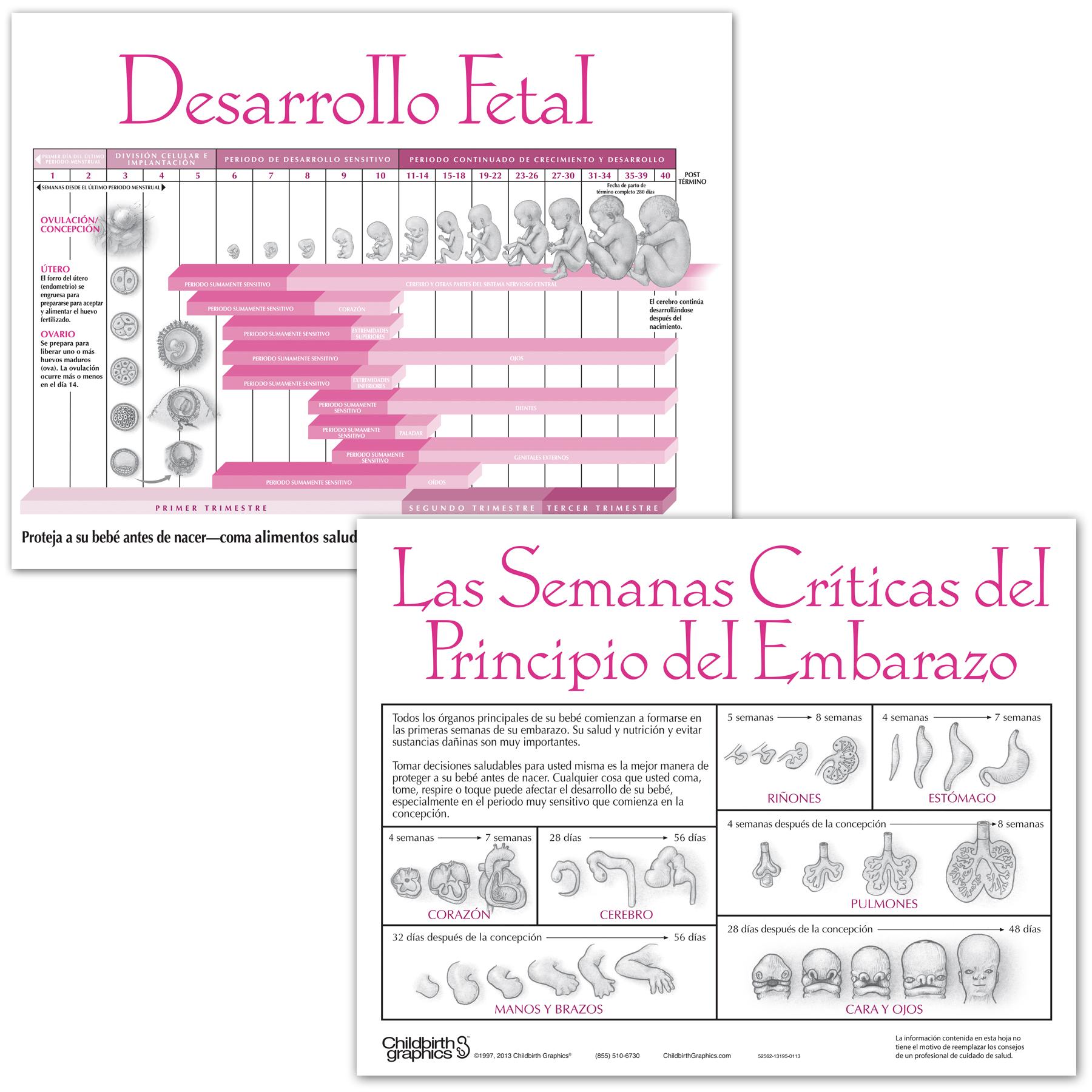 Fetal Development 2-color illustrated tear pad Spanish, developmental timeline, Childbirth Graphics, 52562