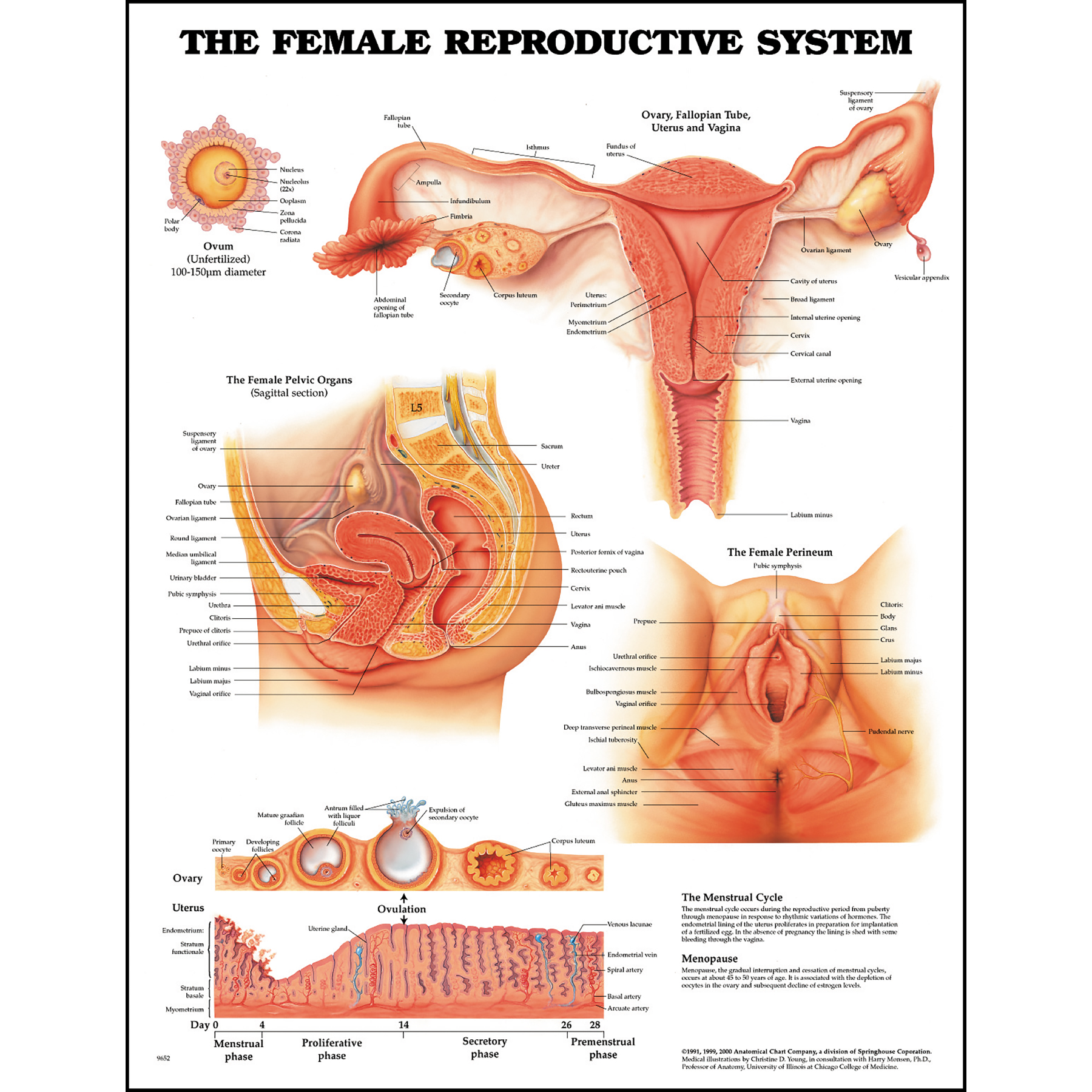 Anatomy Chart The Female Reproductive System Health Edco