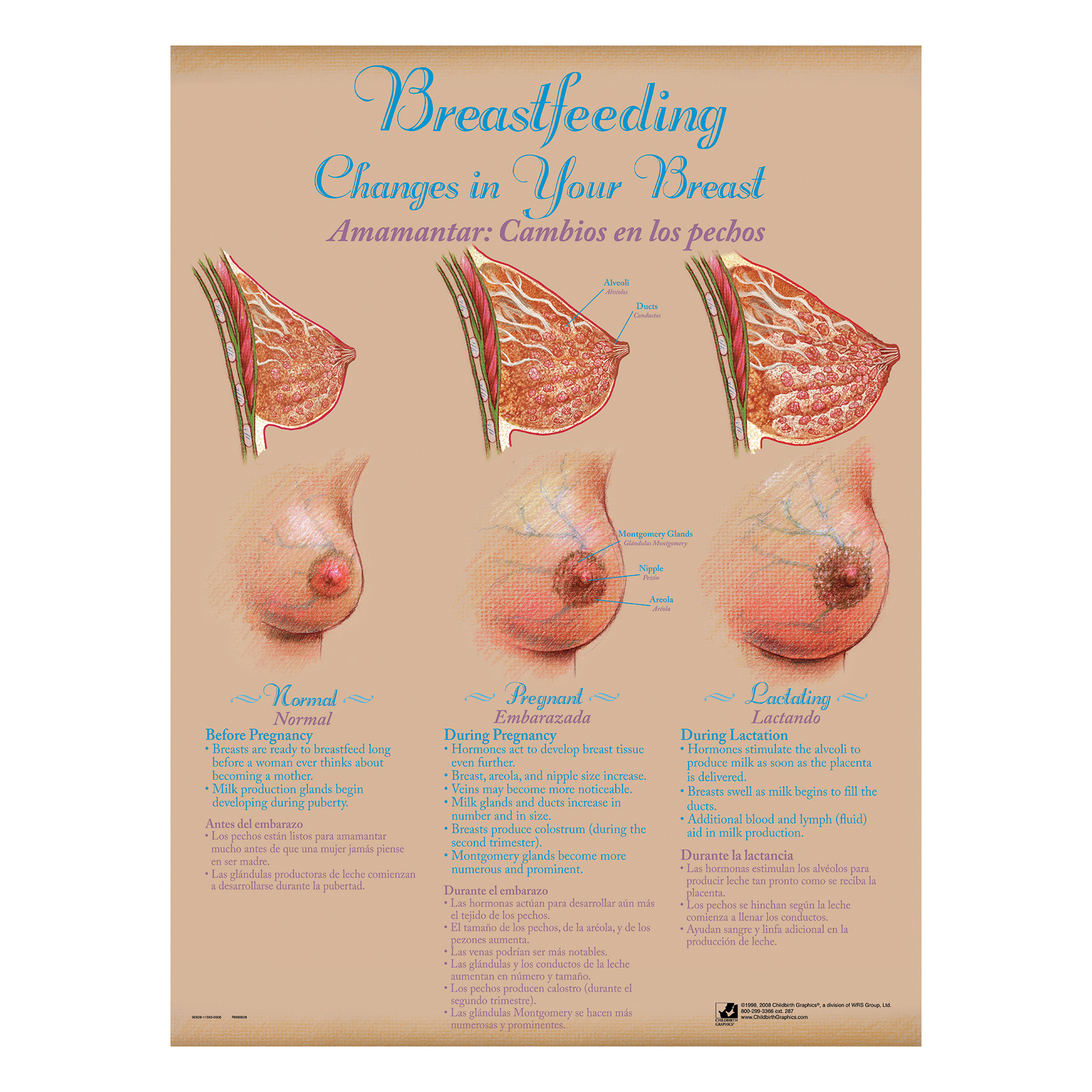 Breastfeeding Chart Set (8), illustrated breast anatomy normal pregnant lactating, Childbirth Graphics, 90809