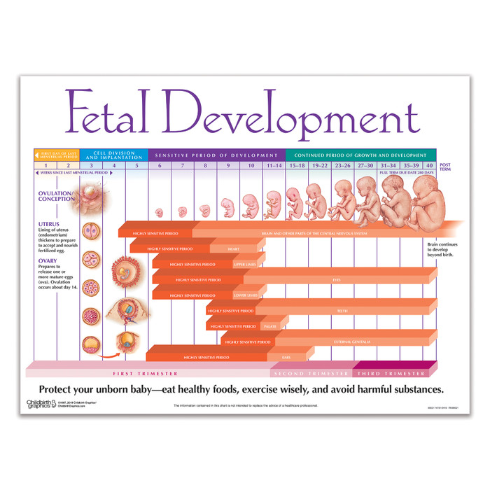 Fetal Development Chart pregnancy education teaching material from Childbirth Graphics showing weekly fetal growth, 90821